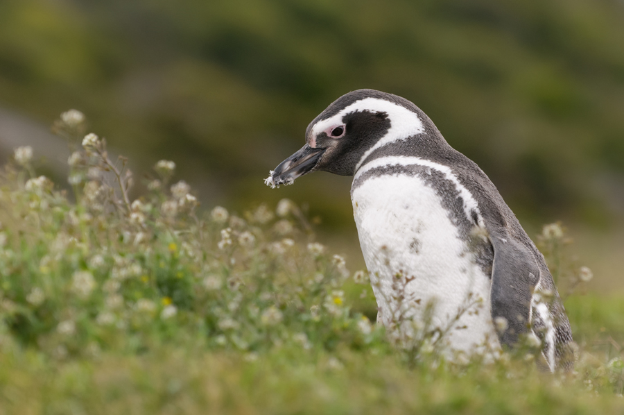 Image Source: J. Deely/Global Penguin Society